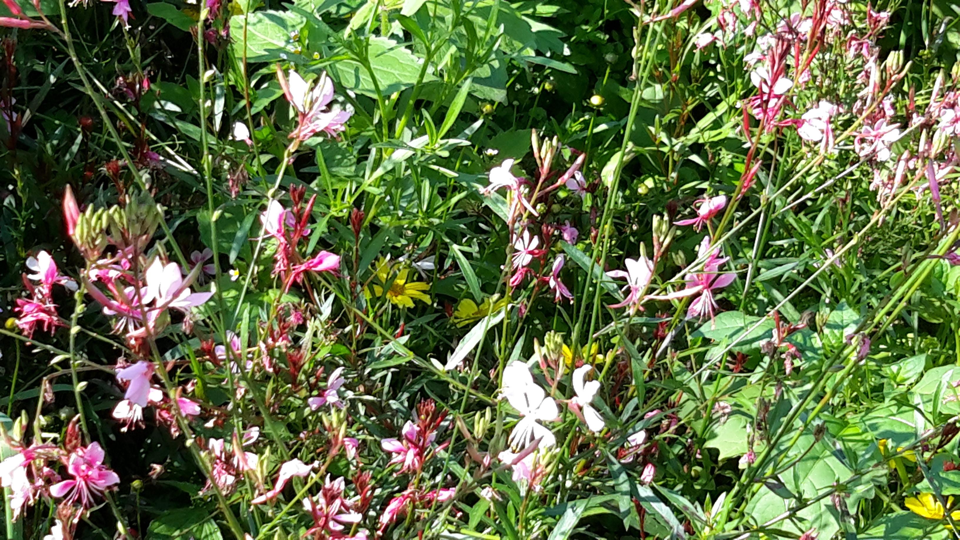 11 분홍바늘꽃